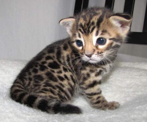 bengal, blue eyes, and cute image