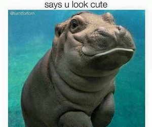 chubby, cute, and hippo image