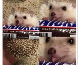 funny, hedgehog, and snicker image