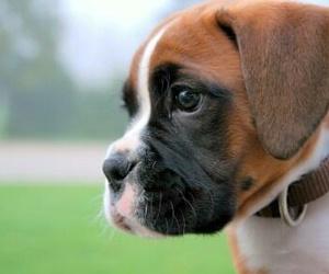 boxer and dog image