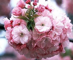 cherry blossoms, flower, and nature image