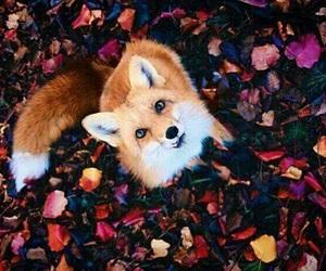 fox, animal, and autumn image