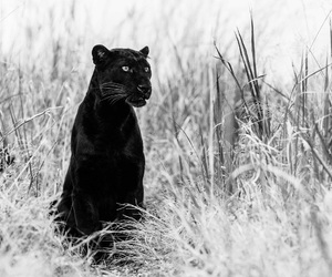 animal, awesome, and panther image