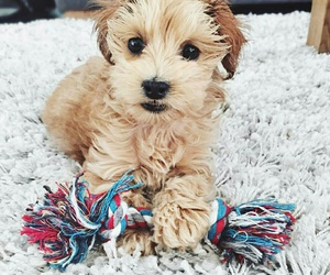 dog, toy, and maltipoo image