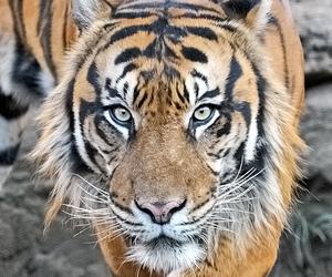 animal, big cats, and tigre image