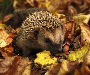 autumn, hedgehog, and leaves image