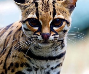cat, animal, and Margay image