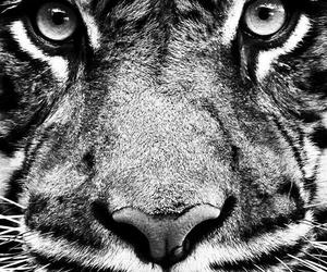 blackandwhite and tiger image