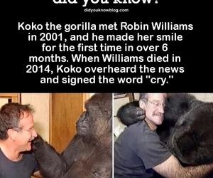 gorilla, koko, and remembrance image