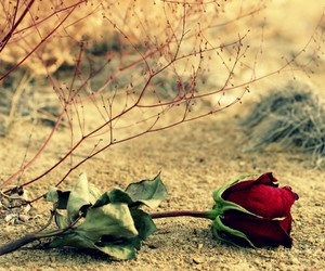 flowers, rose, and red rose image