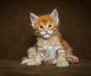 kitten, photography, and maine coon cat image