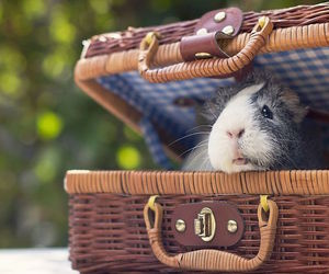 adorable, guinea, and pig image