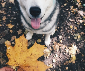 malamute october autumn image