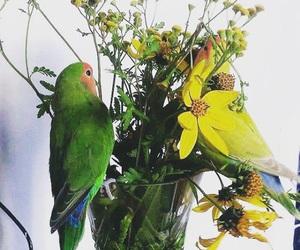 lovebirds and roseicollis image