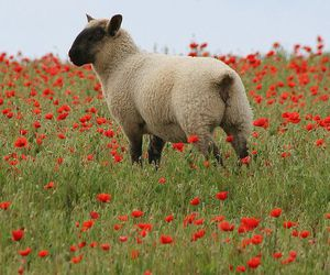 sheep and poppy image