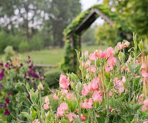 cottage, summer, and sweet peas image