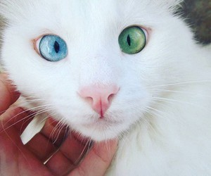 cat, bleu-eyes, and cutest image