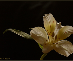flower, goldstaraward, and lily image