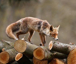 clever, fox, and nature image