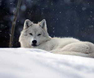 wolf and snow image