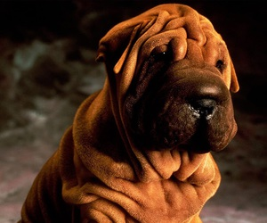 dogs and shar pei image