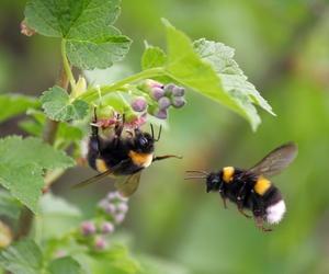 bumble bee, bumblebees, and fauna image