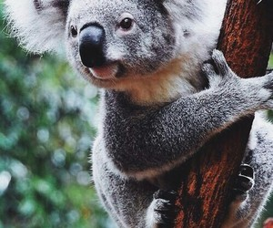 animal, Koala, and australia image