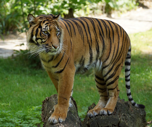 germany, tigre, and zoo image