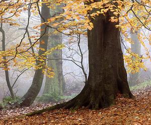 beech, fog, and mist image