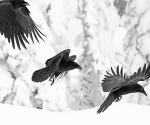 crows, dark, and gothic image