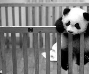 26 Images About Pandas On We Heart It See More About Panda Cute