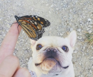 butterfly, dog, and frenchbulldog image