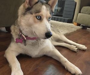 beautiful dog, blue eyes, and dog image