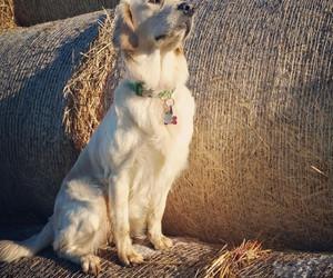 autumn, dog, and goldenretriever image