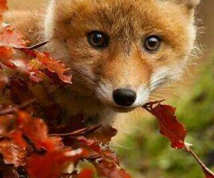 fox, animals, and nature image