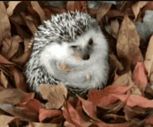 adorable, autumn, and hedgehog image