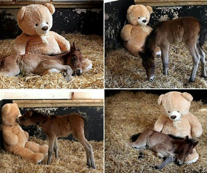 teddy and horse image