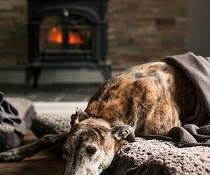 dog and greyhound image