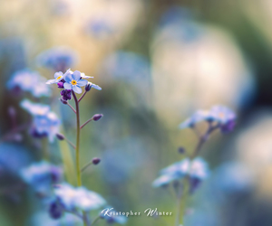 flower, forget-me-not, and nature image