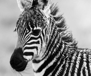 animal, zebra, and baby image