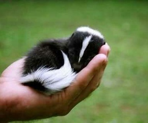cute, skunk, and animal image