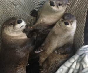 animals, otter, and cute image
