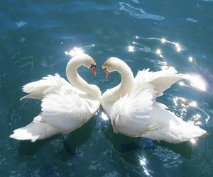 romantic, love, and Swan image