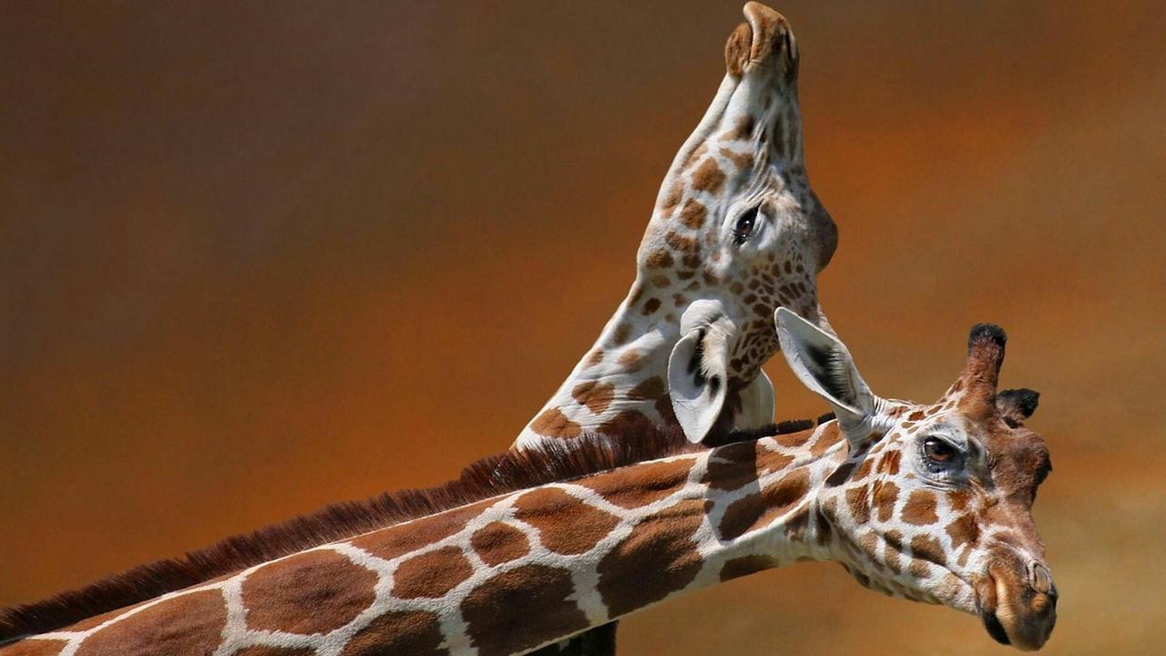 amazing and giraffe image