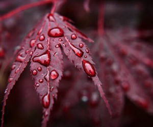 leaves, red, and rain image