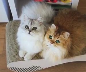 beautiful, beauty, and cats image