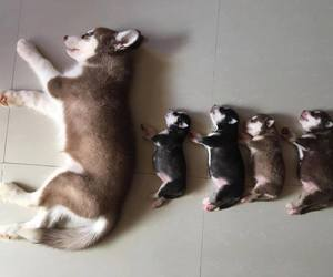 darling, huskies, and puppies image