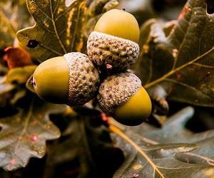acorns, autumn, and nature image