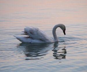 Swan and lake image