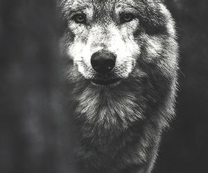 black and white, wolf, and wolves image